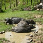 Buffalo Sunbathing