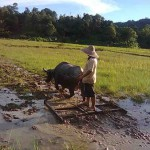 Ploughing Paddy Field with Buffalo